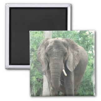 Imán del elefante de Tusked