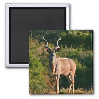 Imán del este de Kudu del cabo