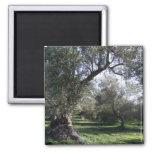 Imán del Griego de la arboleda verde oliva