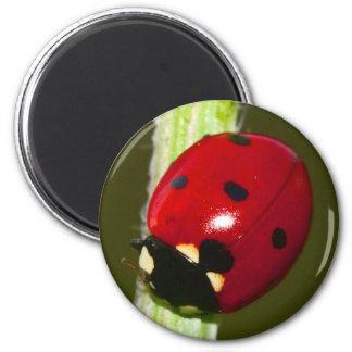 imán del ladybeetle