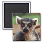 Imán del Lemur