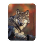Imán del lobo gris