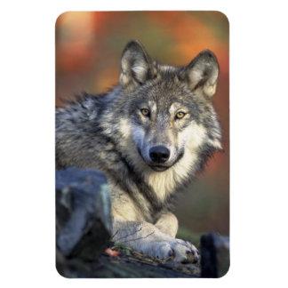 Imán del lobo