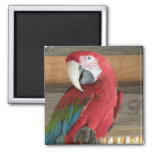 Imán del Macaw del escarlata