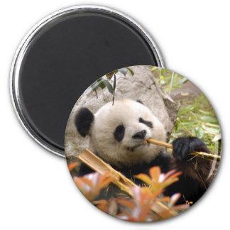 Imán del oso de panda gigante y de la panda del