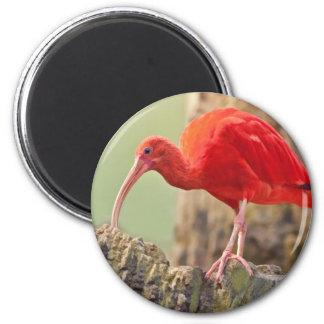 Imán del pájaro de Ibis del escarlata