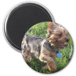 Imán del perro de York Terrier