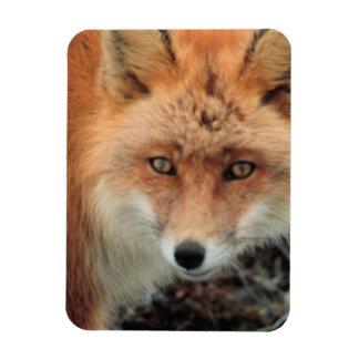 Imán del premio de la especie del Fox