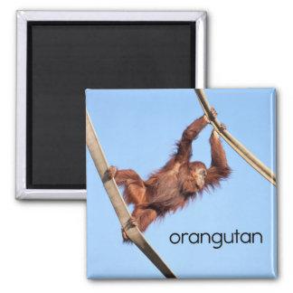 Imán del refrigerador del orangután