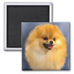 Imán del retrato de Pomeranian