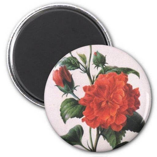 Imán del rosa rojo de Redoute del vintage