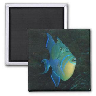 Imán del Triggerfish de reina