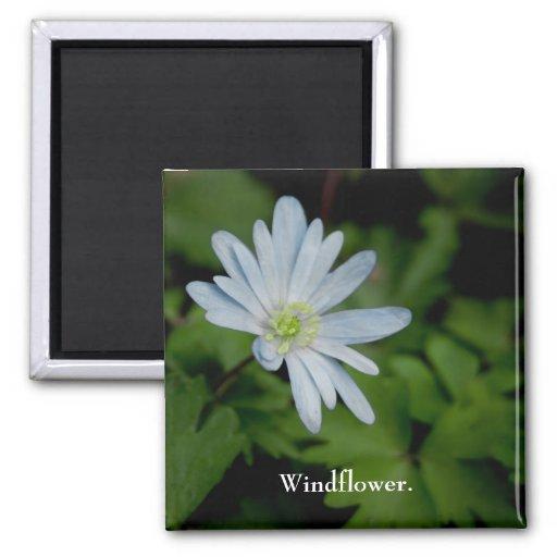 Imán del Windflower
