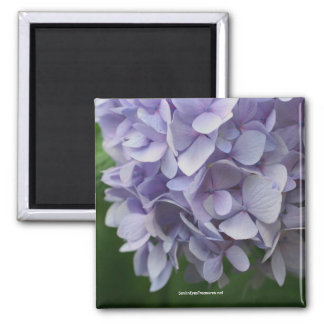 Imán dulce de la foto de la flor del Hydrangea - m
