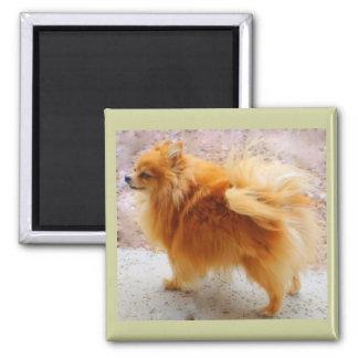 Imán dulce de Pomeranian