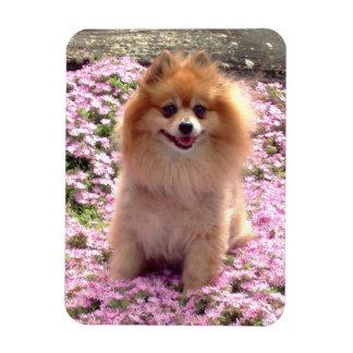 Imán el | Pomeranian con las flores rosadas