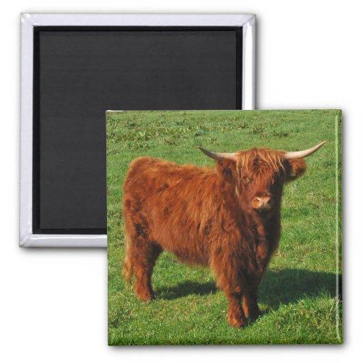 Imán escocés del ganado de la montaña