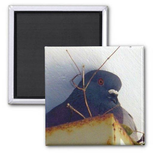 Imán femenino de la paloma 1