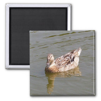 Imán femenino del pato 3 del pato silvestre