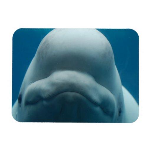 Imán flexible de la ballena dulce de la beluga