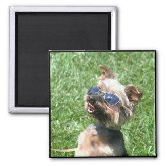 Imán fresco de Yorkshire Terrier