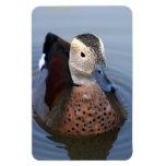 Imán hermoso de la foto del pájaro anillado del tr