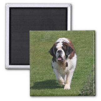 Imán hermoso de la foto del perro de St Bernard