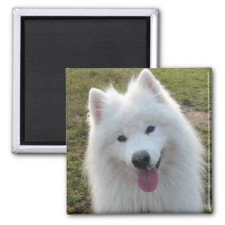 Imán hermoso de la foto del perro del samoyedo