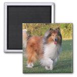 Imán hermoso del retrato del perro del collie, ide