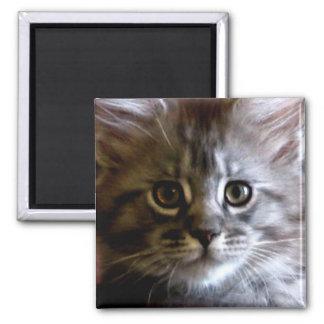 Imán lindo de la cara del gatito del Coon de Maine