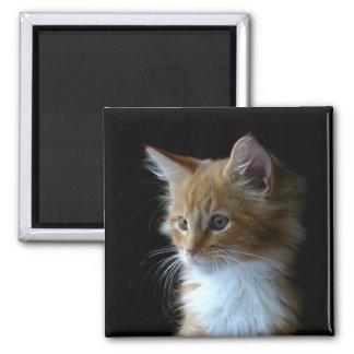 Imán lindo del gatito del Coon de Maine