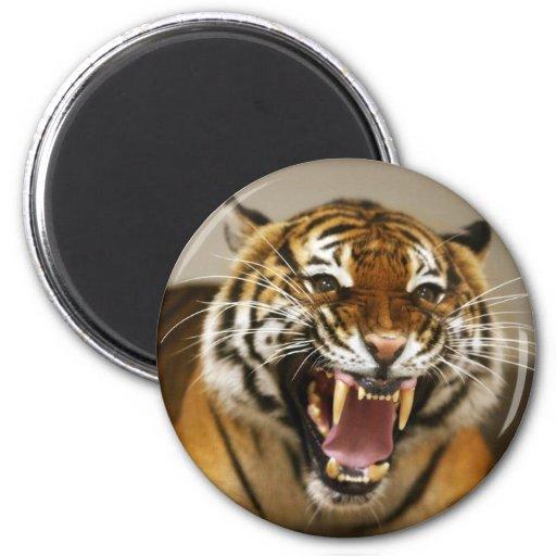 Imán malayo del tigre #2