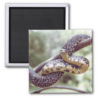 Imán manchado de rey serpiente