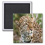 Imán manchado del leopardo