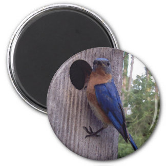 Imán masculino del Bluebird