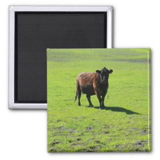 Imán negro de la vaca