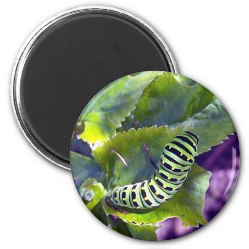 Imán negro de Swallowtail Caterpillar 2