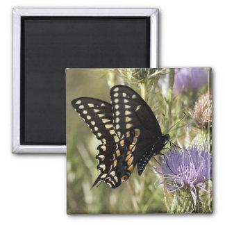 Imán negro del cuadrado de la mariposa de Swallowt