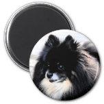 Imán negro y del moreno de Pomeranian