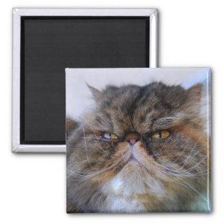 Imán orgulloso del gato persa del calicó
