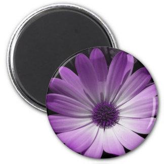 Imán púrpura de la flor de la margarita
