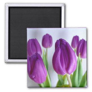 Imán púrpura de la primavera del tulipán