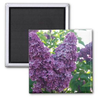 Imán púrpura de las lilas