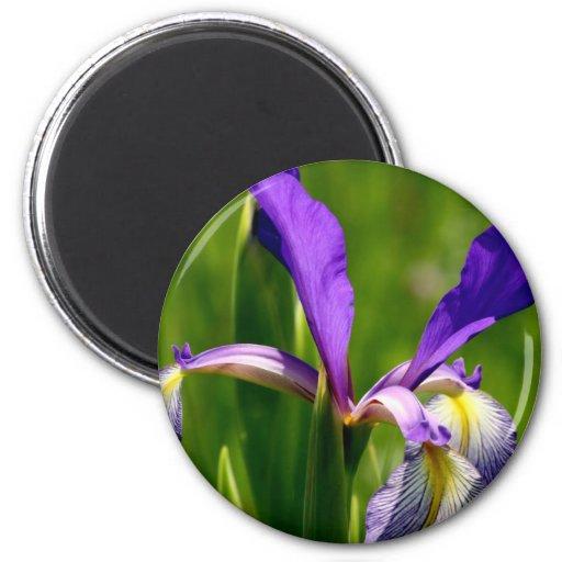 Imán púrpura del refrigerador del iris