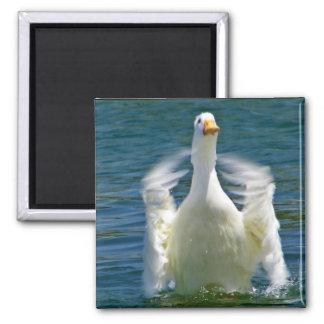imán que aplaude del pato