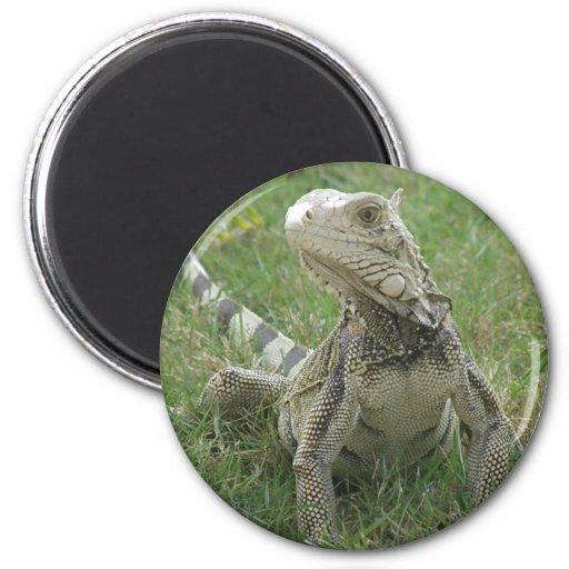 Imán redondo de la iguana