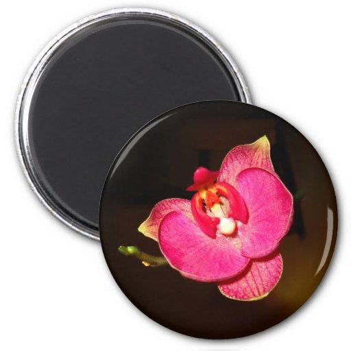 Imán redondo de la orquídea rosada