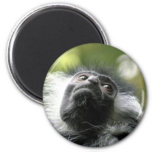 Imán redondo del mono de Colobus de Rwanda