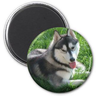 Imán redondo del perro del husky siberiano