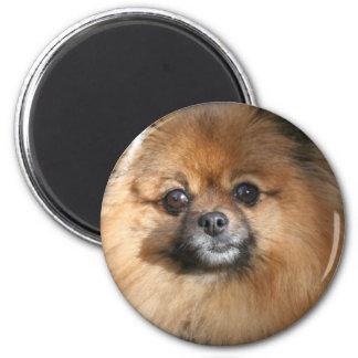 Imán redondo miniatura de Pomeranian